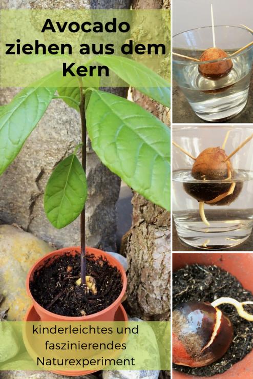Eine Avocadopflanze aus dem Kern zu ziehen, geht - gewusst wie - ganz einfach. Doch für das faszinierende Naturwunder braucht es Ausdauer und Geduld. Eine schöne Avocado-Pflanze ist der Lohn für die Arbeit.