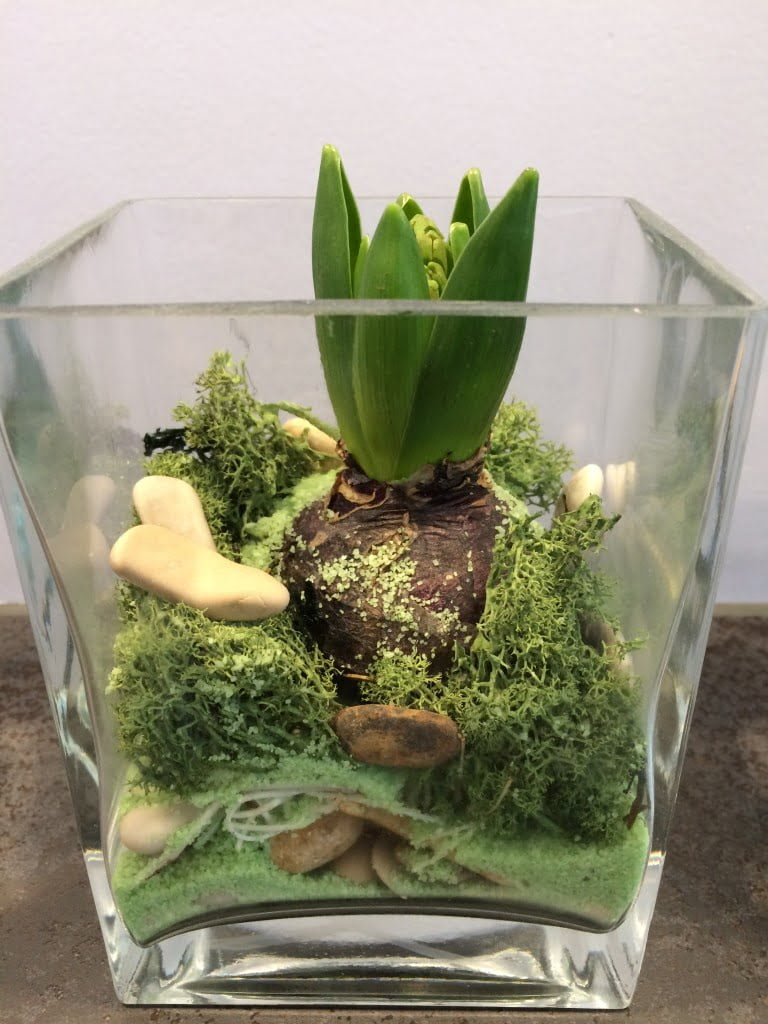 Blumenzwiebeln im Glas vortreiben