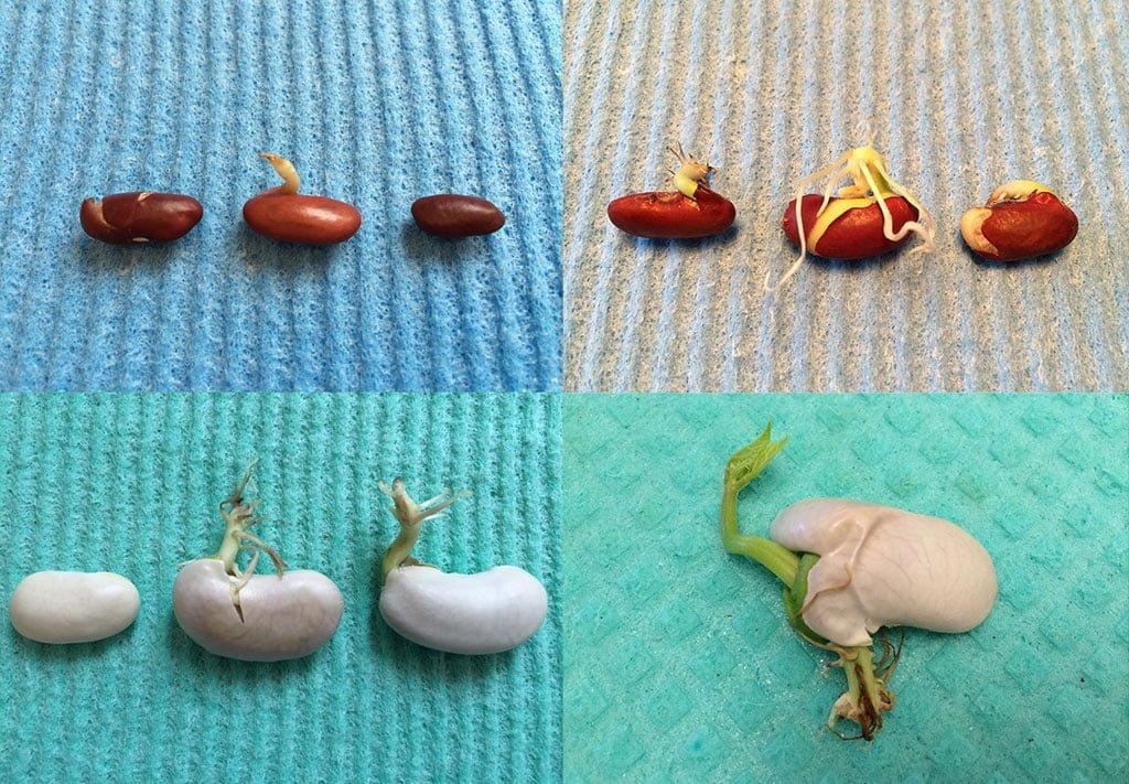 Bohnen keimen lassen - Experiment für kleine Naturforscher